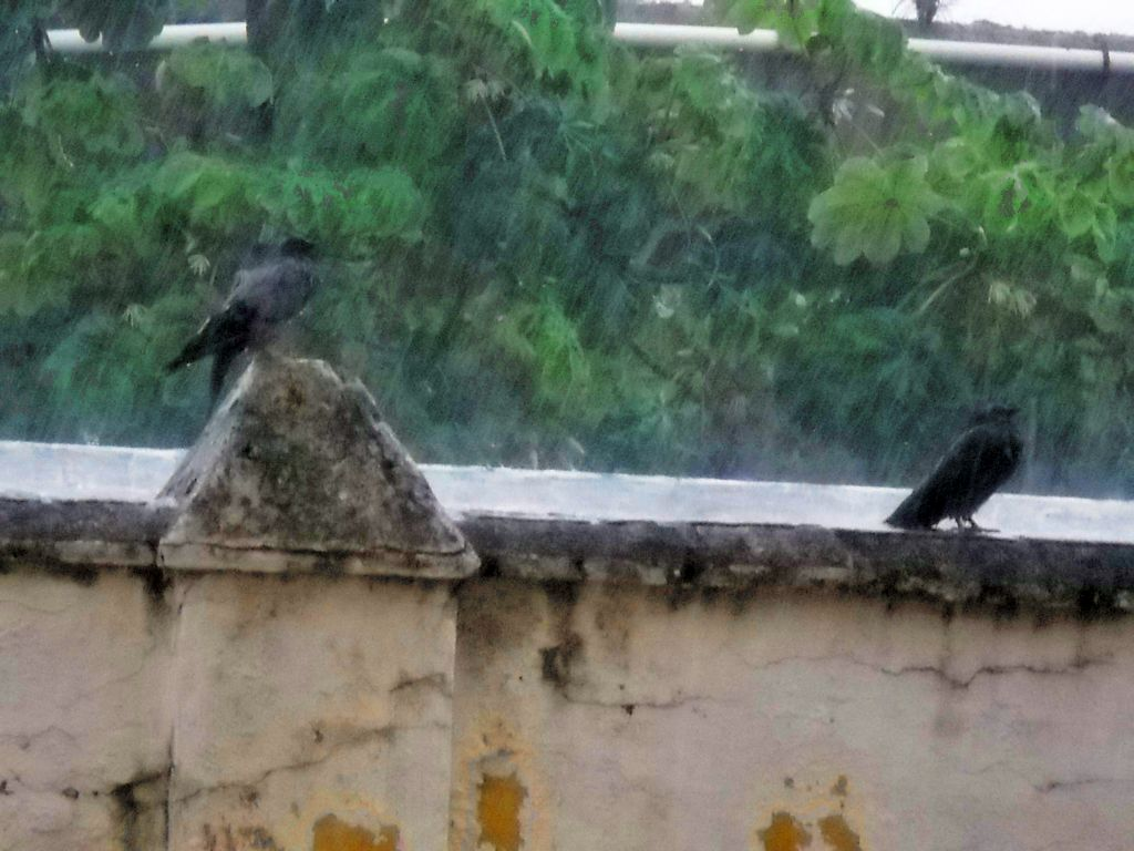 Pigeons in a Colonial Zone rain storm