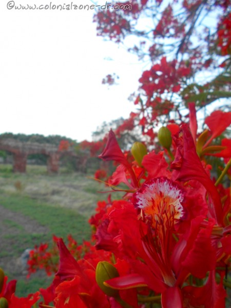 The bright red flowers of a Flamboyan Tree in the Fortaleza Ozama with the Fort Santiago behind.