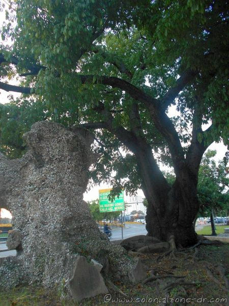 The cemented trunk of the Ceiba de Colón and the tree beside it stands proudly in 2017